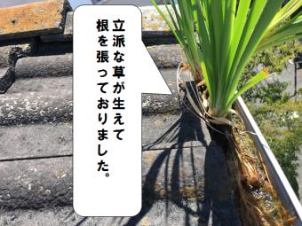 門真市 軒樋に雑草が根を張っている